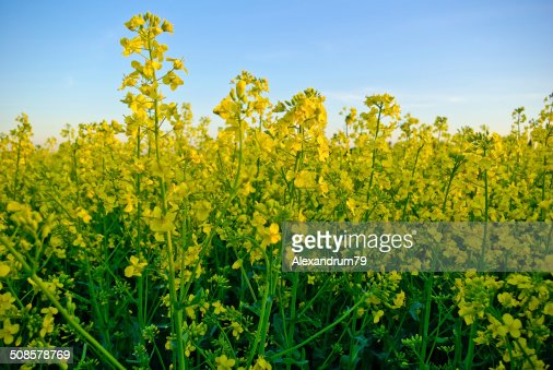 Rape crop on the background of the blue sky : Stock Photo