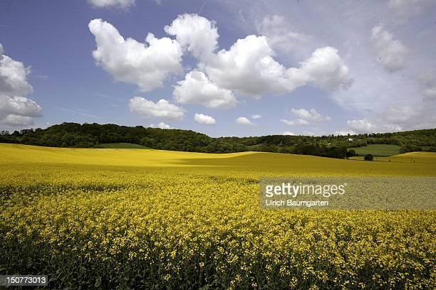 SAALE rape field near Bad Naumburg