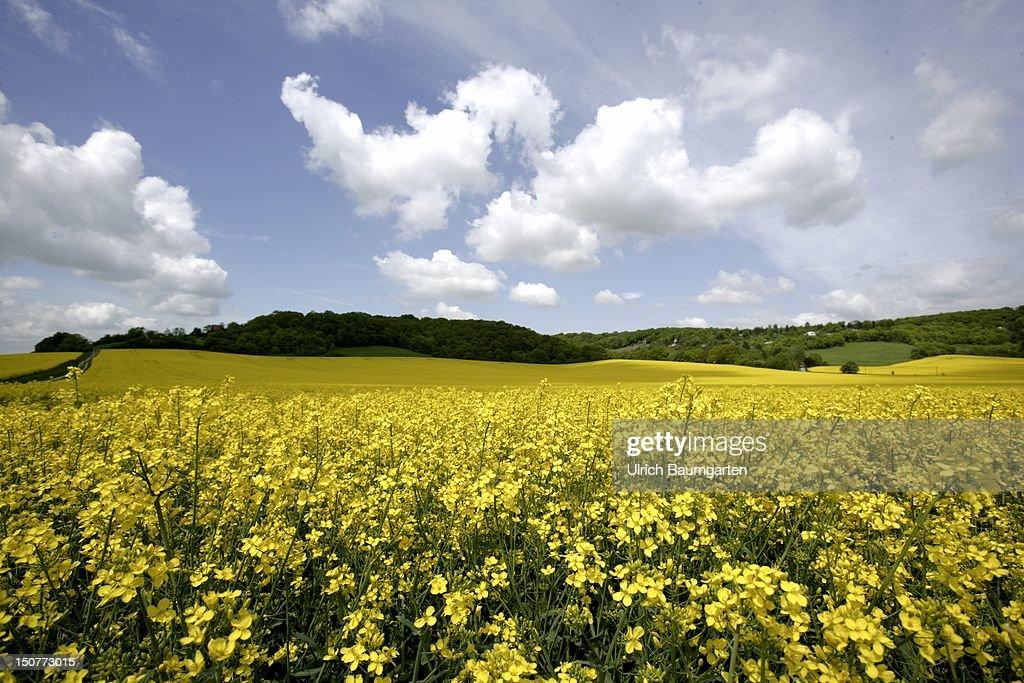 SAALE, rape field near Bad Naumburg (Saale).
