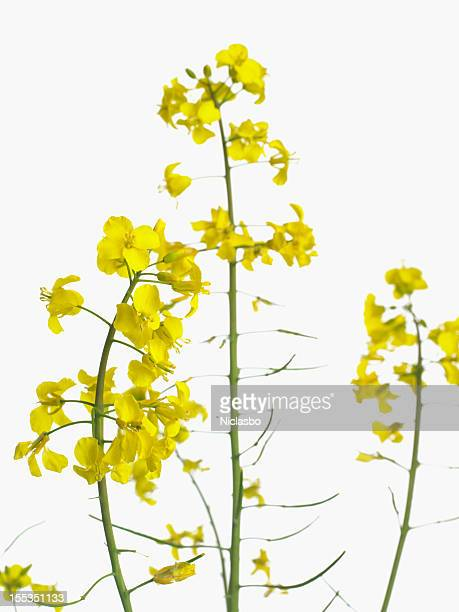 Rape flower