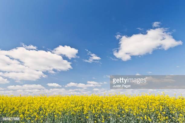 Rape Seed Field under Blue Sky