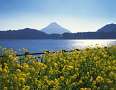 Rape-blossom field with lake and Mt. Kaimon in the background, Kagoshima prefecture, Japan