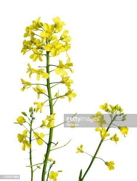 Rapeflower plant