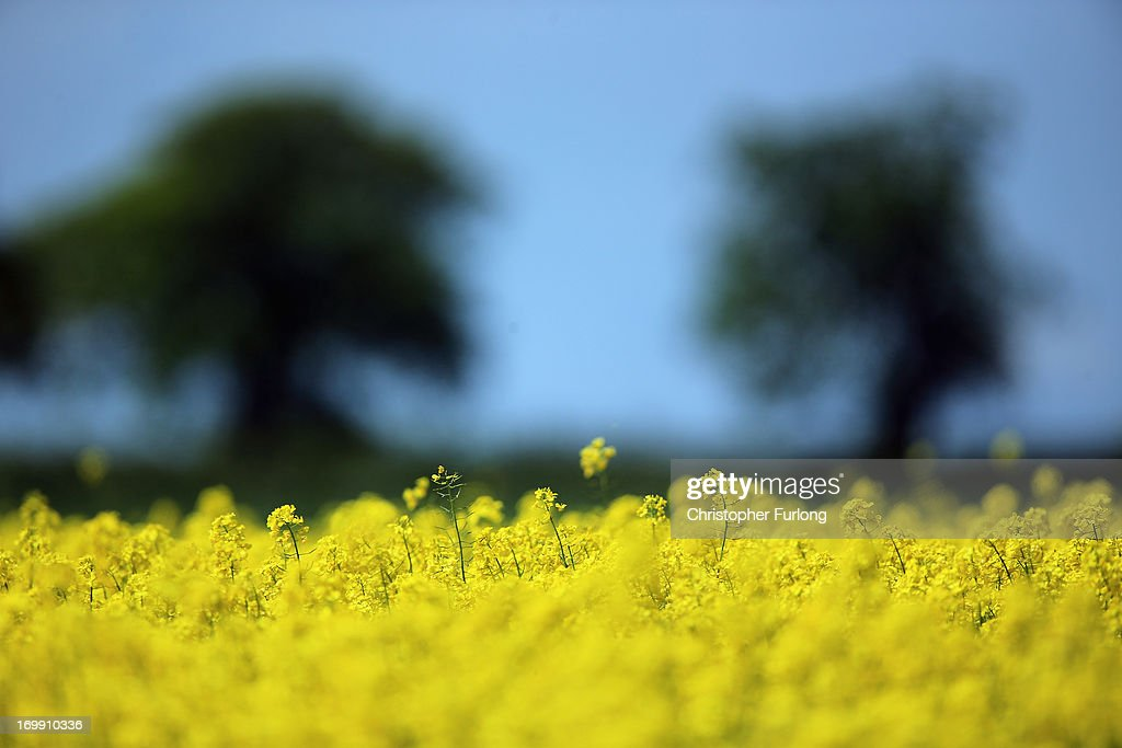 Rapeseed blooms in the sunshine, in a field close to the village of Brewood in South Staffordshire on June 4, 2013 in Stafford, United Kingdom. The vibrant yellow blossom of rapeseed, or oilseed rape (Brassica napus) has become a familiar sight in rural areas of the UK and is now in full bloom as the sun shines across the country.