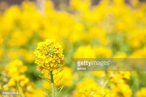 Rapeseed blossom : Stock Photo