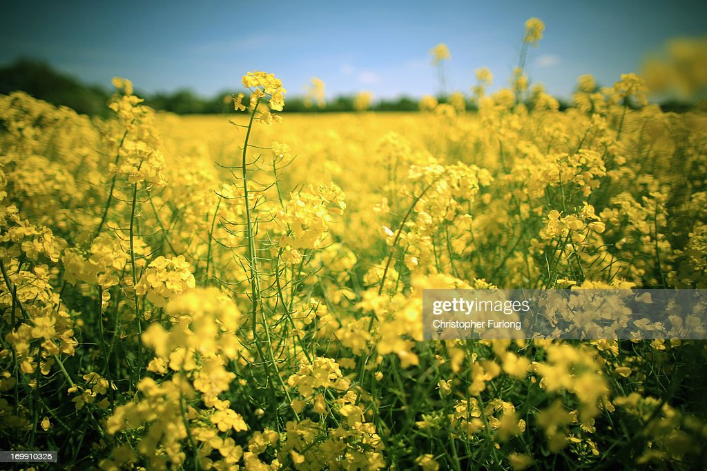 Rapeseed blows in the wind and blooms in the sunshine in a field close to the village of Brewood in South Staffordshire on June 4, 2013 in Stafford, United Kingdom. The vibrant yellow blossom of rapeseed, or oilseed rape (Brassica napus) has become a familiar sight in rural areas of the UK and is now in full bloom as the sun shines across the country.