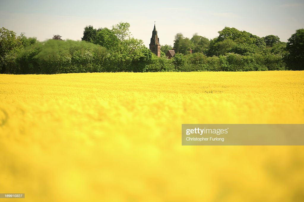 Rapeseed blows in the wind and blooms in the sunshine, in a field close to the village of Brewood in South Staffordshire on June 4, 2013 in Stafford, United Kingdom. The vibrant yellow blossom of rapeseed, or oilseed rape (Brassica napus) has become a familiar sight in rural areas of the UK and is now in full bloom as the sun shines across the country.