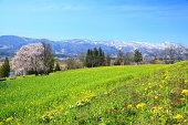 Rapeseed field and snow mountain, Iiyama city, Nagano, Japan
