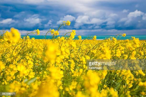 Rapeseed field nearby Qinghai lake