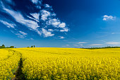 rapeseed field with blue sky and small clouds
