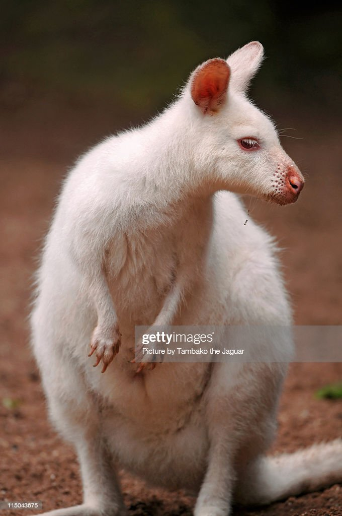 Rare albino wallaby