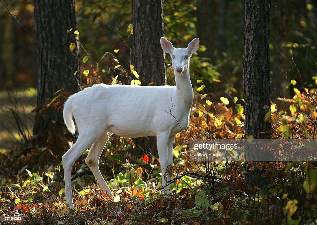 A rare Albino Whitetail Deer is seen September 26, 2007 in the Northern Highland American Legion State Forest, Boulder Junction, Wisconsin. Often referred to as the 'Ghosts of the Forest,' the animals are rarely seen and are protected in Wisconsin.