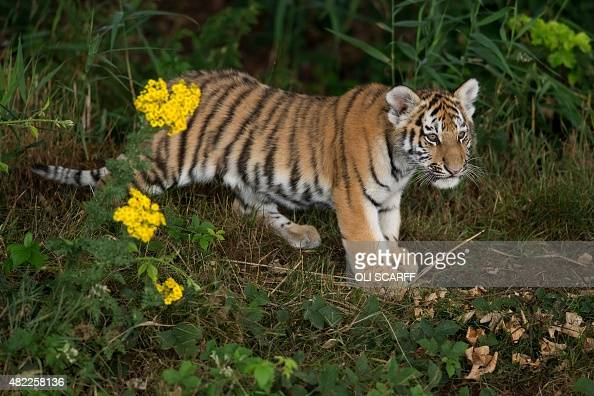 A rare Amur Tiger cub aged four months experiences its reserve for the first time at the Yorkshire Wildlife Park near Doncaster northern England on...