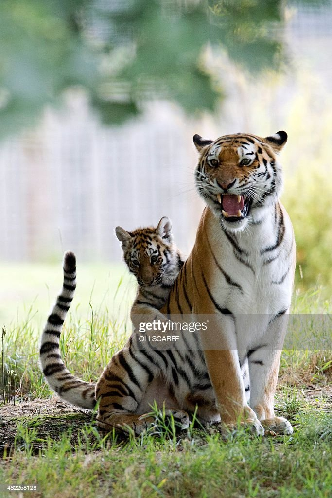 A rare Amur Tiger cub aged four months plays with its mother Tschuna as it experiences its reserve for the first time at the Yorkshire Wildlife Park...