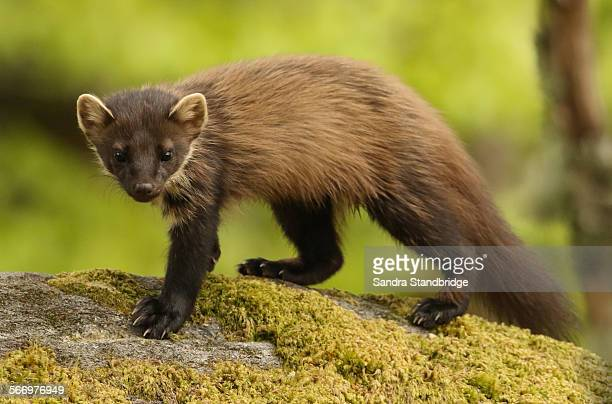 A rare and elusive hunting Pine Marten.