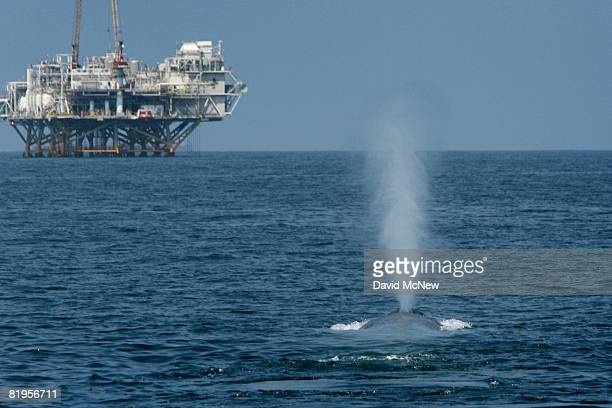 A rare and endangered blue whale one of at least four feeding 11 miles off Long Beach Harbor in the Catalina Channel spouts near offshore oil rigs...