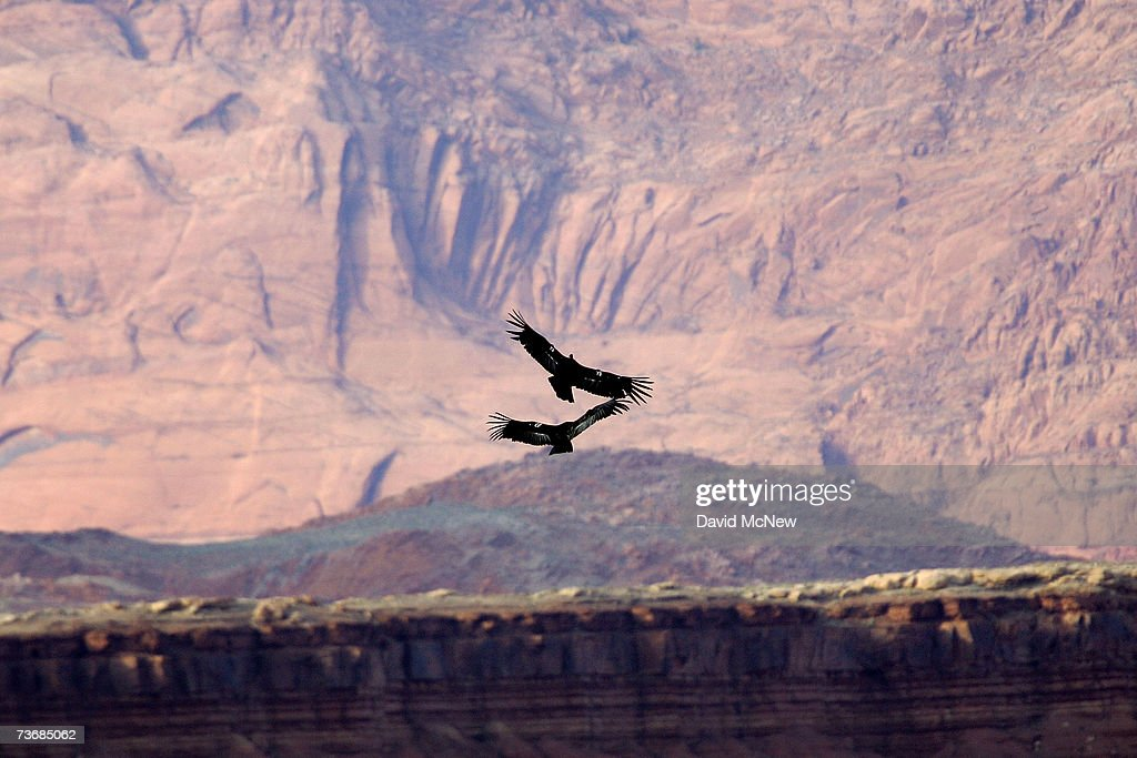 Rare and endangered California condors fly near the Vermillion Cliffs and Marble Gorge east of Grand Canyon National Park on March 22 2007 west of...