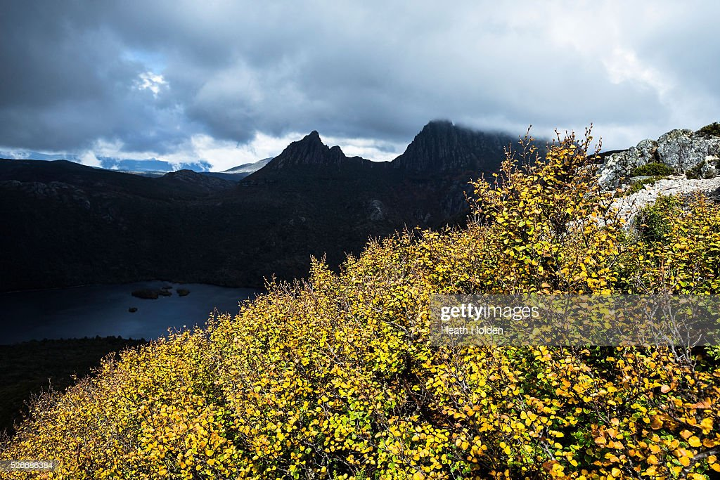 A rare break in clouds illuminates golden fagus seen at Cradle Mountain National Park on April 30, 2016 in Australia. Deciduous beech, better known as fagus, is Australia's only cold climate winter deciduous tree. It grows to about 2 metres in size and found at elevations around 800m which receive lots of rain. The origins of fagus go way back to when Tasmania was part of the supercontinent Gondwana. The closest species to fagus are now found in South America and New Zealand.