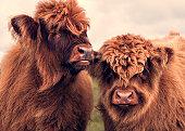 Rare furry cattle
