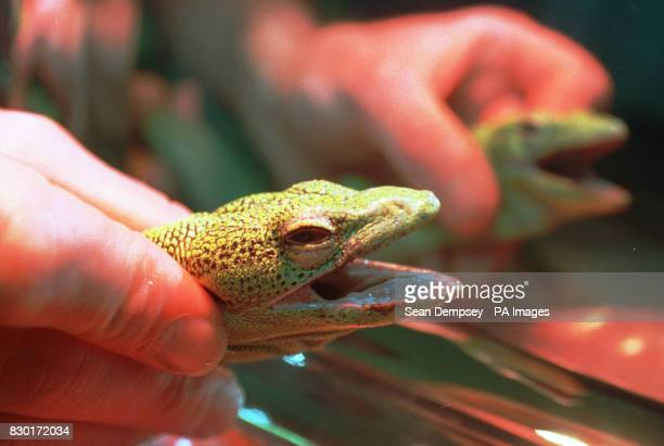 A rare Green Tree Monitor Lizard nicknamed Romeo by vets at the Animal Health Trust Newmarket where it underwent revolutionary micro surgery to...