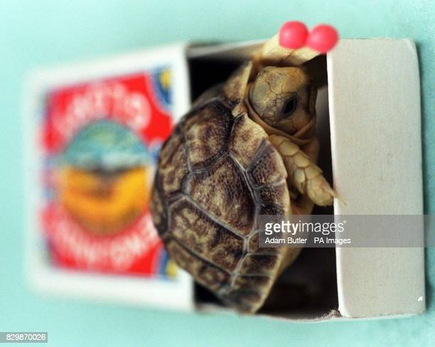 A rare Kleinmanns tortoise one of three born in the last week is unveiled at London Zoo today The breed is the smallest in Europe growing to 4' in...