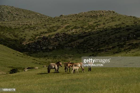 Rare Mongolian Przewalski's wild horses or 'Takhi' feed on grasslands on World Environment Day at the Hustai National Park in Mongolia on June 5 2013...