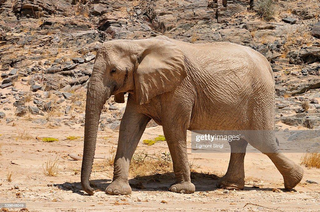 Rare Namibian Desert Elephant -Loxodonta africana-, Hoanib River, Namib desert, Kaokoland, Kaokoveld, Kunene Province, Namibia
