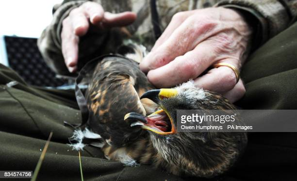 Rare one month old Hen Harrier chicks being fitted with Remote Satellite receivers