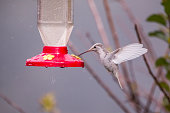 Rare white Leucistic Magnificent Hummingbird (Eugenes spectabilis) San Gerardo de Dota, Birds of Costa Rica