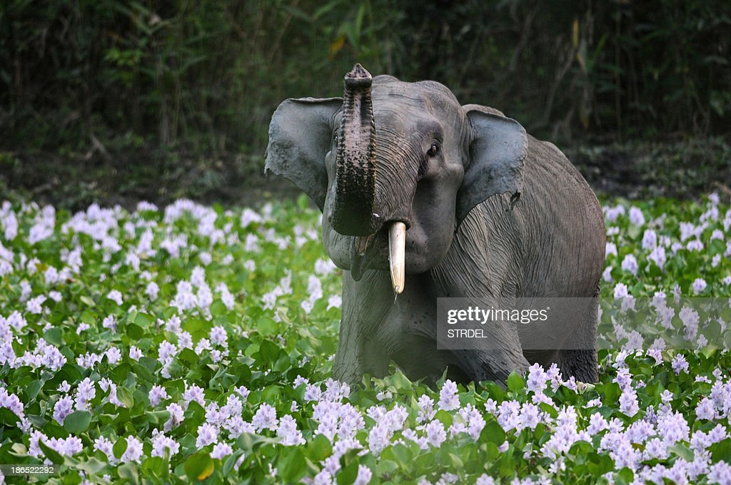 A rarely seen single tusk elephant also called as Ganesh Elephant raises his trunk as he stands among flowers in Kaziranga National Park, some 250kms east of Guwahati on October 31, 2013. The world famous Kaziranga National Park in the north-easteern Indian state of Assam is scheduled to be reopened for tourists from November 1, 2013. There are seventeen species of mammals, twenty three species of birds and ten species of reptiles which are in endangered list are found in Kaziranga. Kaziranga has the worlds largest concentration of Indian one horned Rhino.