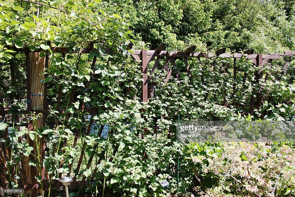 Raspberry And Blackberry Plant On Wooden Trellis In Garden : Stock Photo