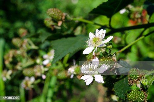 Flor de frambuesa con bayas verde y flores : Foto de stock
