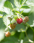 raspberry in nature