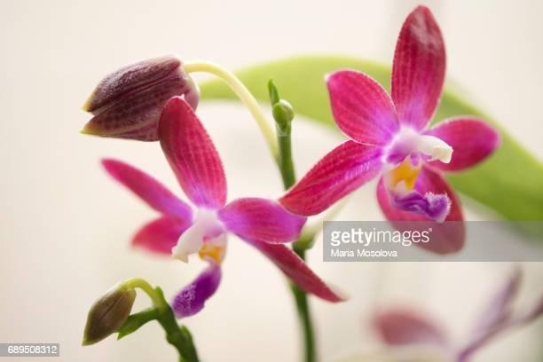 Raspberryi Red Phalaenopsis Orchid Hybrid