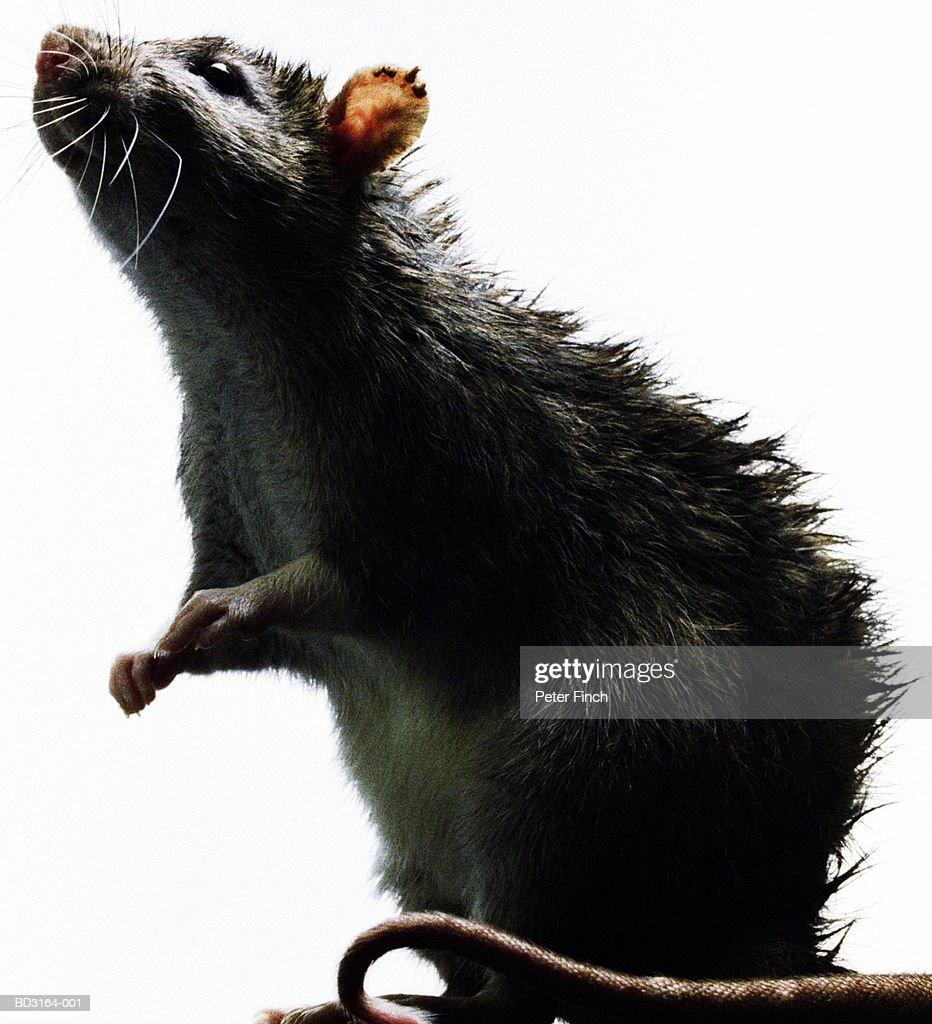 Rat (Rattus sp.), close-up