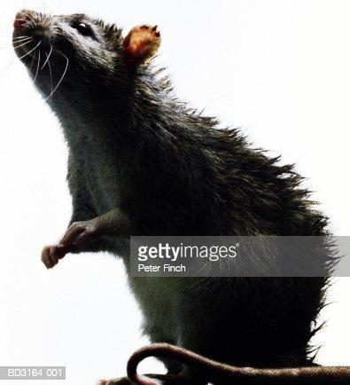 Rat (Rattus sp.), close-up : Stock Photo
