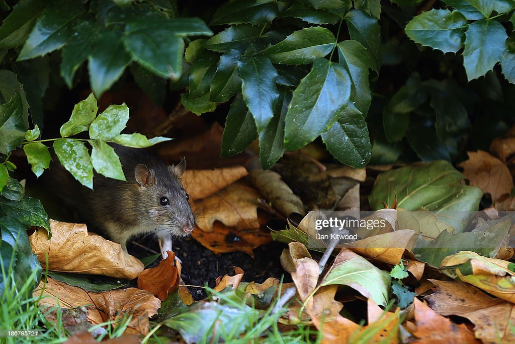 A rat emerges from bushes in St James's Park on November 4, 2013 in London, England. After the recent stormy weather, in many parts of the UK the autumn colours of trees are beginning to reach their peak as the season moves towards winter.