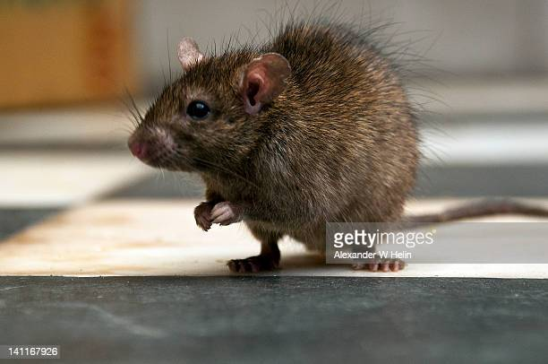 Rat in temple