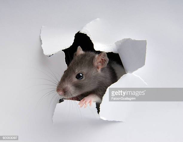 Rat in the paper hole