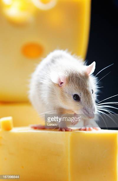 rat on cheese