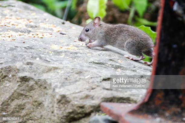 Rat On Rock