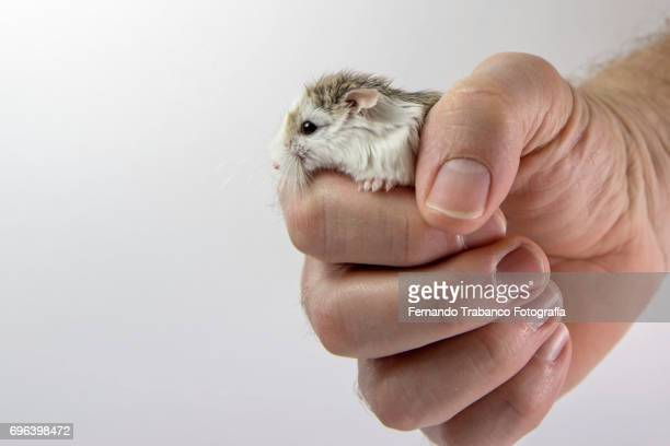 Rat or hamster in owner's hand
