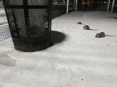 NYC Rat Rodents Eating Off Ground Near Trash Can