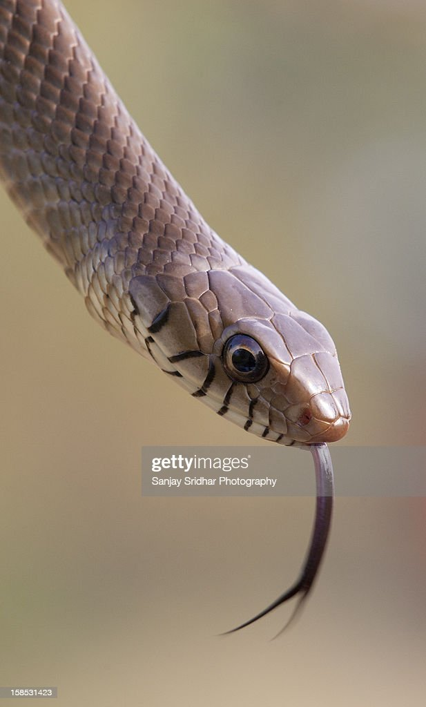 Rat Snake : Stock Photo