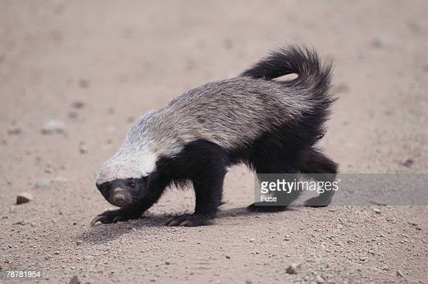 Ratel, or Honey Badger