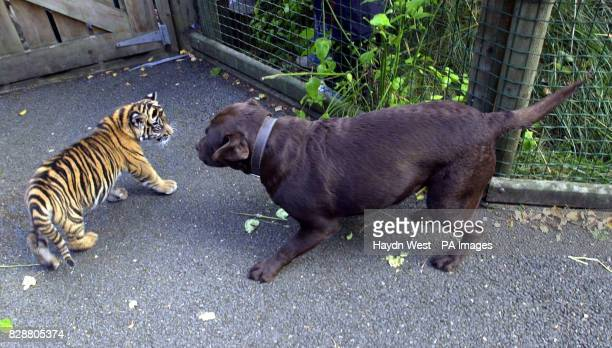 Ratna a fourteen week old Sumatran tiger cub who was born at Dublin Zoo to her mother Sigra meets Ruby the brown labrador to give her contact with...
