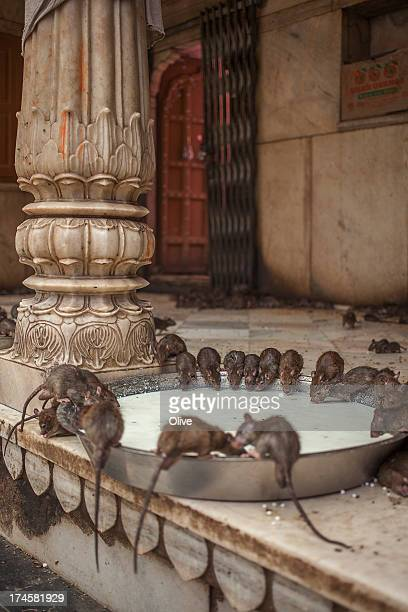 rats  drinking milk in Shri Karni Mata Temple ( te