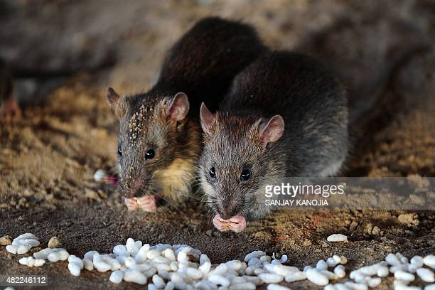 Rats eat grains of puffed rice in Allahabad on July 28 2015 AFP PHOTO/ SANJAY KANOJIA