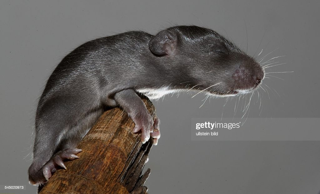 Perfect Rats House Rat Roof Rat Young Animal