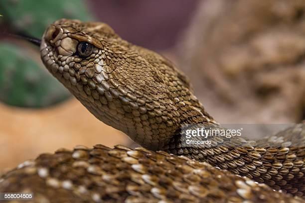 Rattle snake, close up